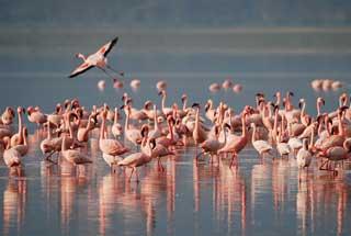 Flamingos, Fuente de Piedra